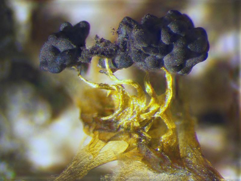 Physarum Spores