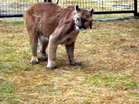 Is This Cougar Alright ??