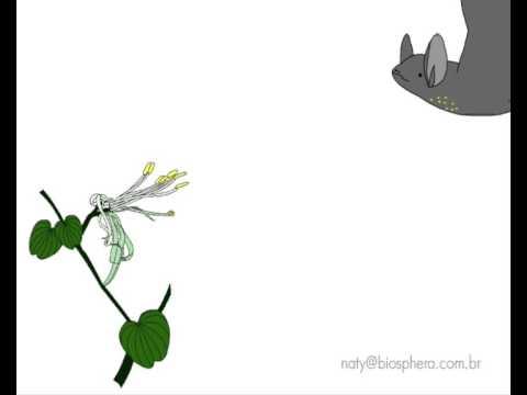 Quiropterofilia - Polinização por morcegos