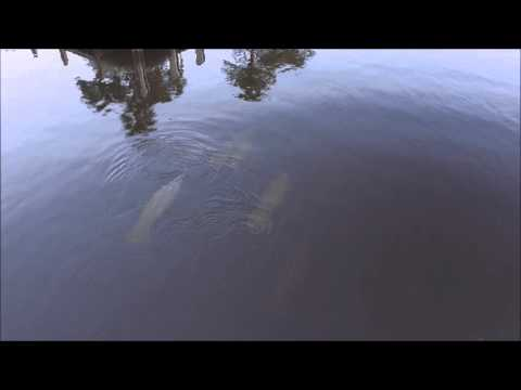Family of 8  Manatees in intracoastal at Boca Raton, FL