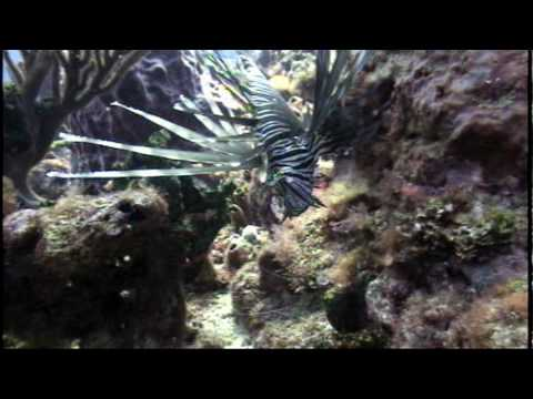 Lionfish on Gulf Stream Reef