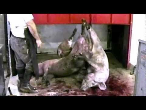Must Watch Film - Farm to Fridge by Mercy for Animals (The Truth About Meat Production) - HD Quality