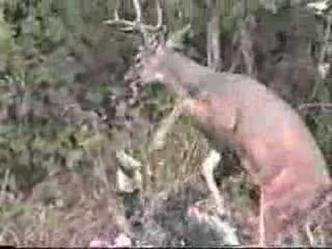 Whitetail Deer attacks Hunter