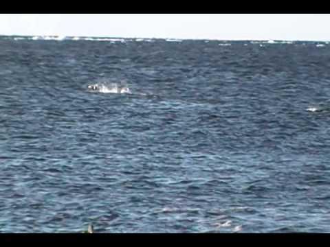 Newfoundland Sea Ducking February 27, 2014