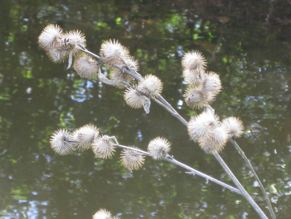 Seedheads over creek