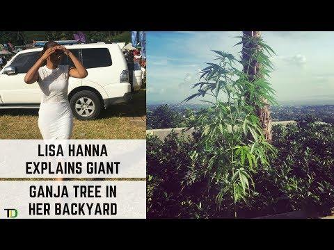 Lisa Hanna explains Massive GANJA TREE In Her BACKYARD!