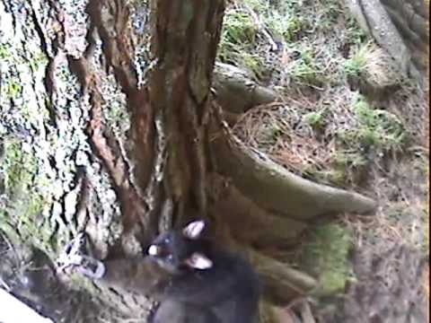 Possum Trapping
