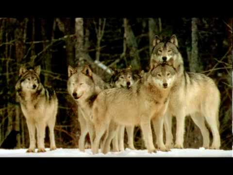 Native American Poem Narration - Lawrence Koh - Wolf Ways by Mark D. Martinson