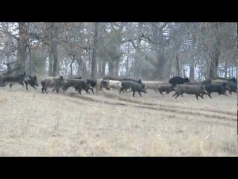 Herd of Hogs at All About U Ranch & Outfitters Stratford, OK