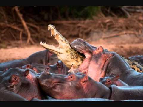 hippo kills crocodile