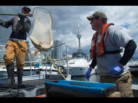 Fish Tales - Toronto Harbour Acoustic Telemetry Study
