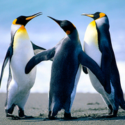 James Penguin