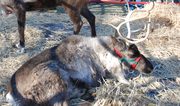 Live Reindeers at the Chattahoochee Nature Center