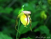 Small Yellow Lady Slipper single specimen 1