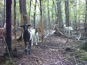Goats in the Woods-Livestock Control Interfering Plants