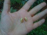 Agate Soybeans