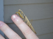 Mantis in hand