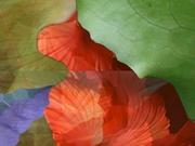 leafhibiscus2