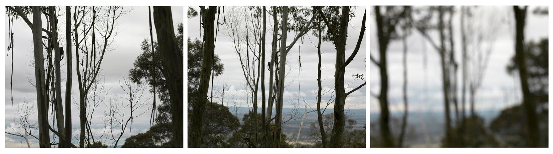 Goldfield Study, Mt. Alexander (Manna Gums on Lookout #1)