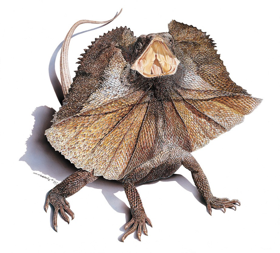 Frill Lizard2