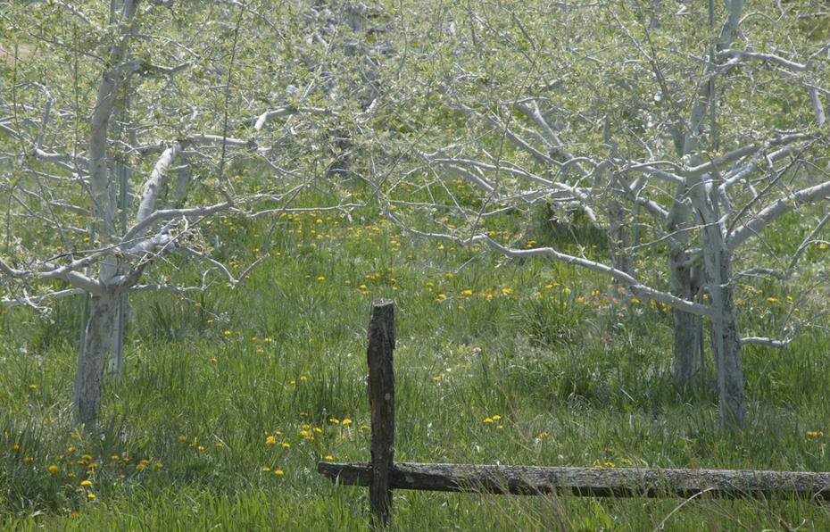 apples in spring