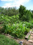 sunflower, squash and shooting corn stalks!