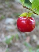 my first acerola cherry