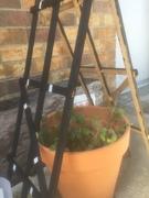 Proliferating beefsteak tomato plant