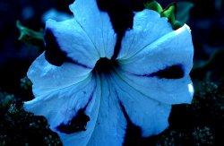 Blue Morning Glory!