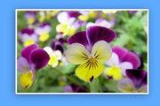 Violet Flowers!