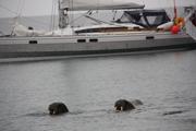 Hvalross besøk i Forlandssundet