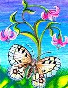 Apollo Schmetterling