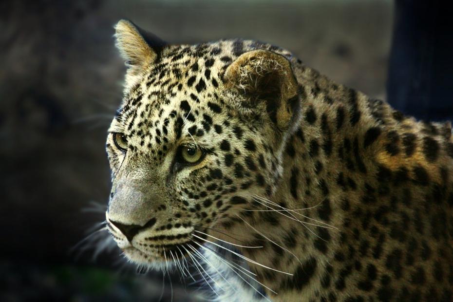 Leopardo siriano