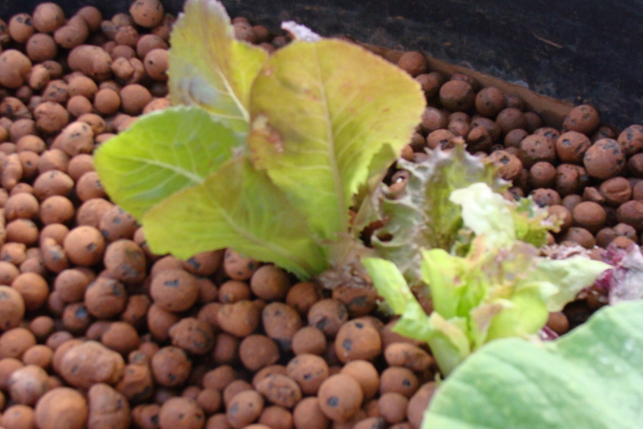 lettuce in July!