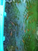 Tilapia in the 300 gallon stock tank.