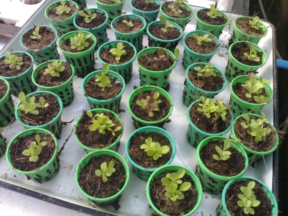 New seedlings emerge from coco coir and gravel.