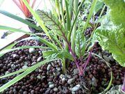 Swiss Chard, Spinach, and Lemongrass