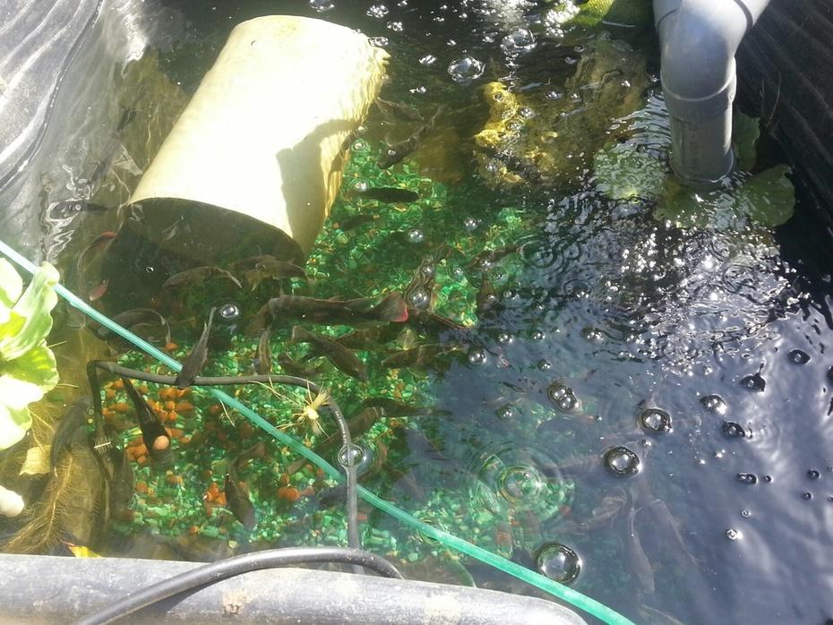 NFT aquaponics system