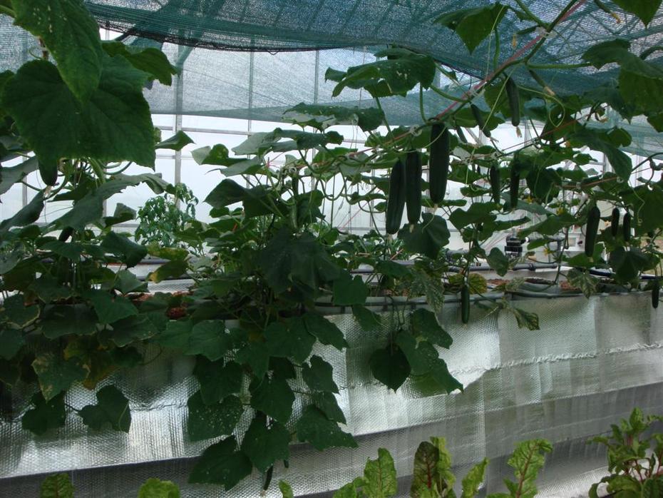 Cucumber Plant No.5 pic02