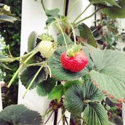 Strawberries_grow_great_vertically_in_ZipGrow_towers___verticalfarm__verticalgarden__verticalfarming__zipgrow