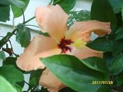 hibiscus.3