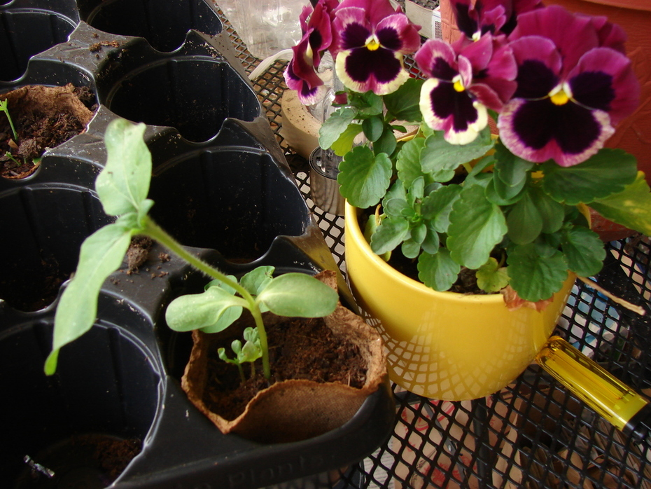 Pansies and a Sunflower Seedling