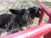 our lambs-  march 2010