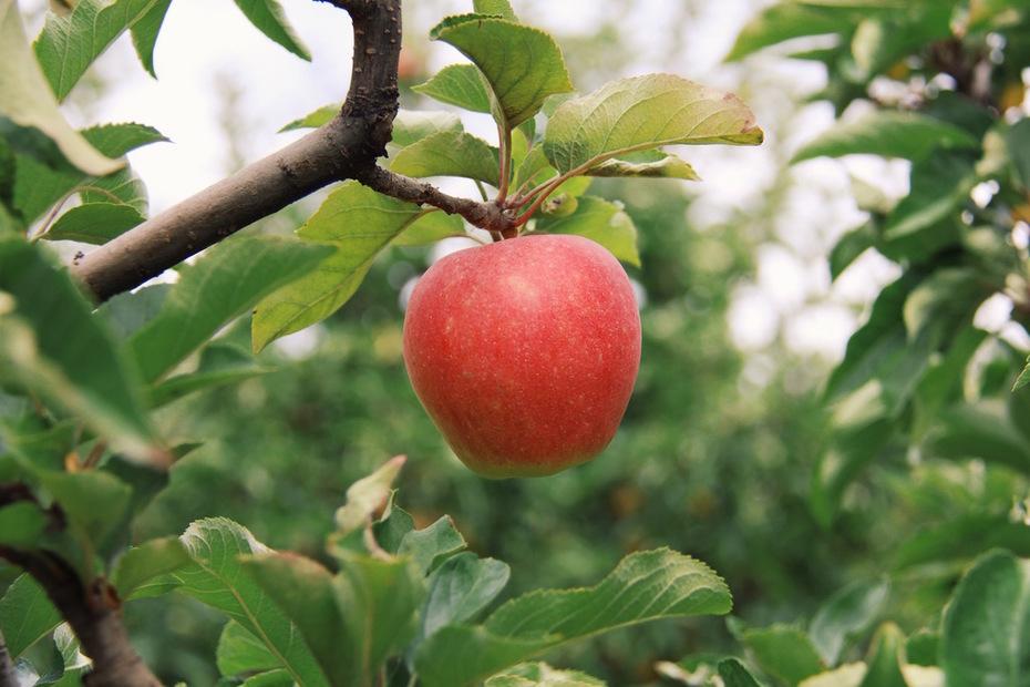 Red Apple on Apple Tree