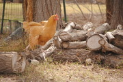 Chicken Yoga!