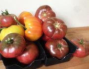 First Tomato Harvest
