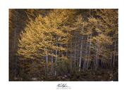 Oro nel bosco