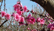 Peach Blossoms reference photo