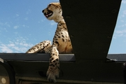Cheetah on Land Rover