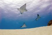 Eagle Rays Bora Bora